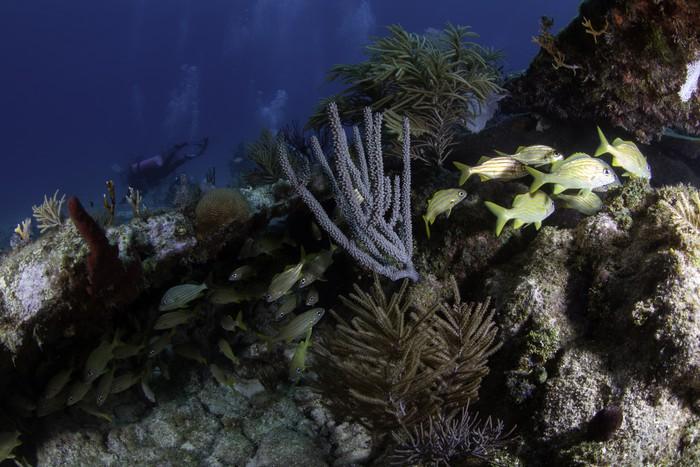Vinylová Tapeta Korálové útesy v Severní Americe - Podvodní svět