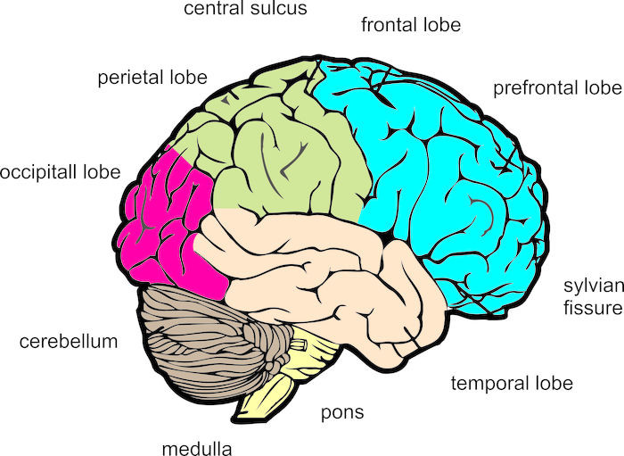 Diagram Of The Human Brain Right Lateral View - Wiring Diagram •