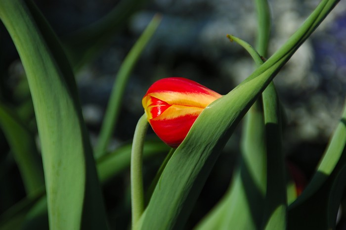Vinylová Tapeta Plaché Tulipa Kees Nelis tulipán - Květiny
