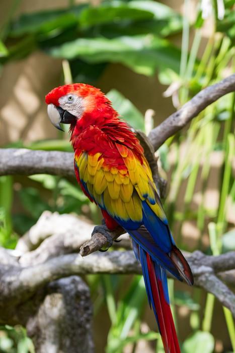 Vinylová Tapeta Scarlet papoušek v přírodě okolních - Ptáci