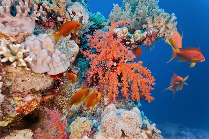 Vinylová Tapeta Hejno anhthias ryb na měkké korálovém útesu - Vodní a mořský život