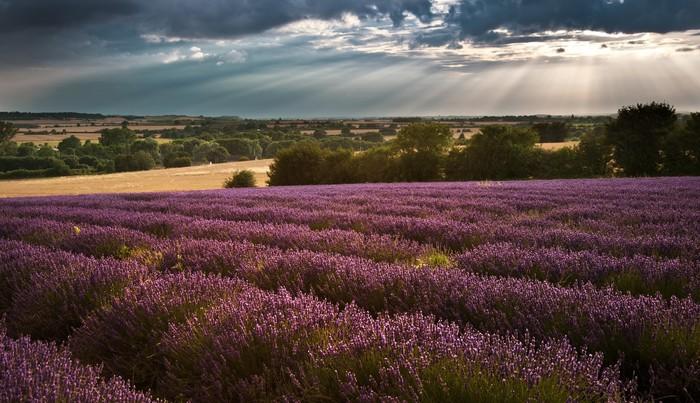 Plakát Krásné levandule pole krajina s dramatickou oblohou - Témata