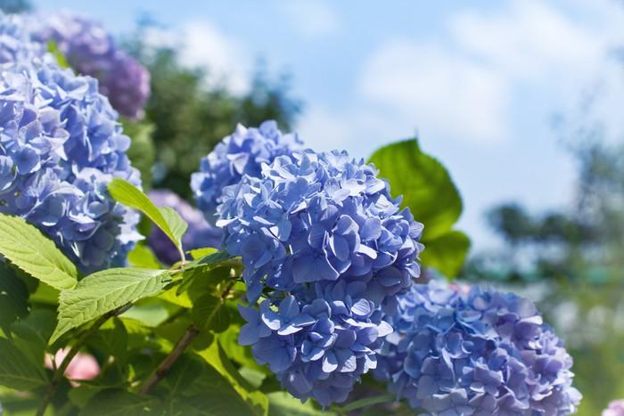 fototapete blaue hortensien pixers wir leben um zu ver ndern. Black Bedroom Furniture Sets. Home Design Ideas