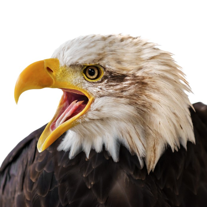 Bald eagle portrait wall mural pixers we live to change for Eagle wall mural