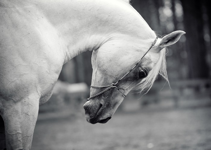 white horse Vinyl Wallpaper - Themes