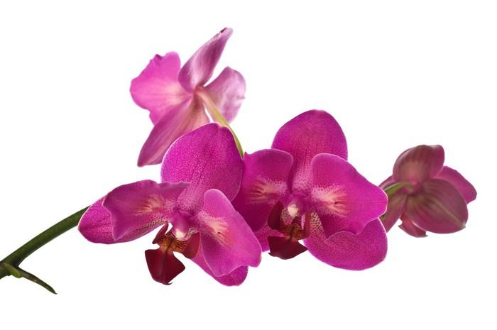 Vinylová Tapeta Orchidej izolované přes bílé - Nálepka na stěny