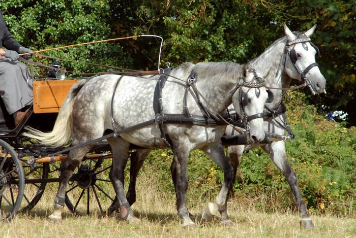 Vinylová Tapeta Pár šedých koní v zápřeži - Savci