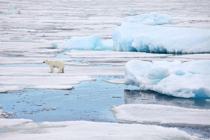 Vinylová Tapeta Lední medvěd v přirozeném prostředí - Severní a jižní pól