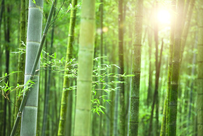 Bamboo forest with morning sunlight Wall Mural Pixers We live