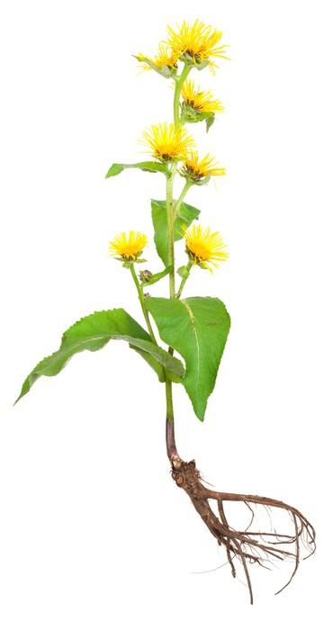 Vinylová Tapeta Léčivé rostliny. Oman pravý (Inula helenium) - Rostliny