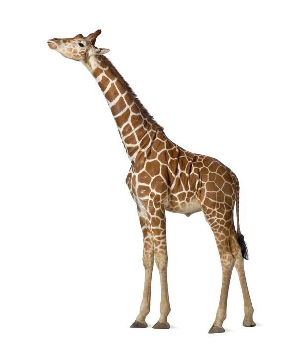 Fototapeta Winylowa Somalijski żyrafa, powszechnie znany jako żyrafa siatkowa - Ssaki