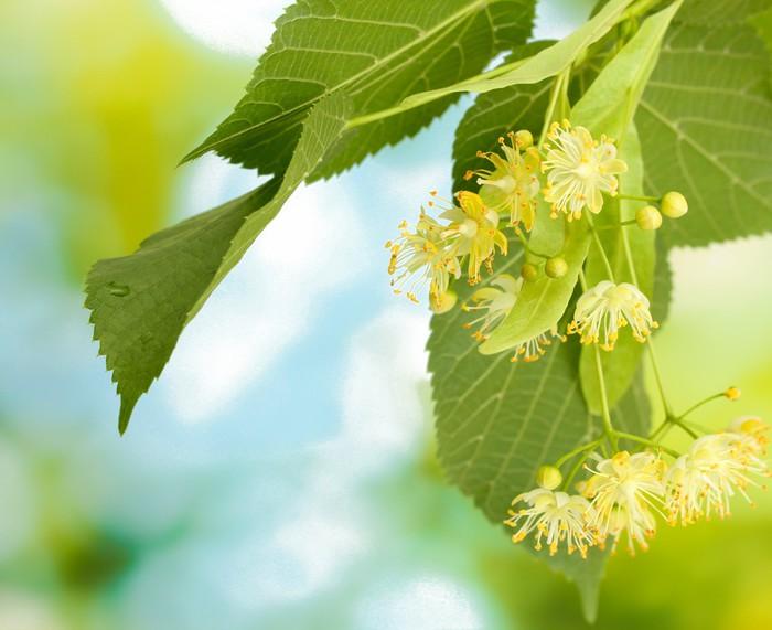 Tableau sur toile branche de fleurs de tilleul dans le for Fleurs dans le jardin