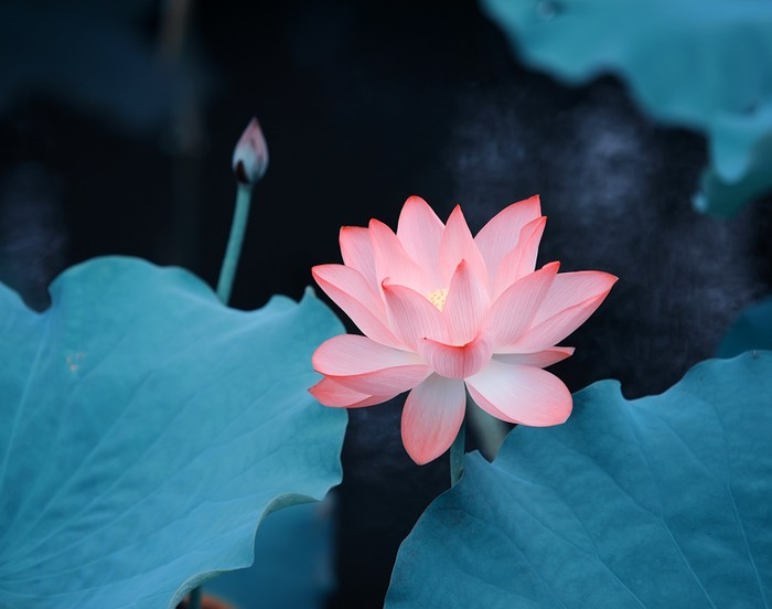 Carta Da Parati Fiori Di Loto : Carta da parati fiore fiore di loto u pixers viviamo per il