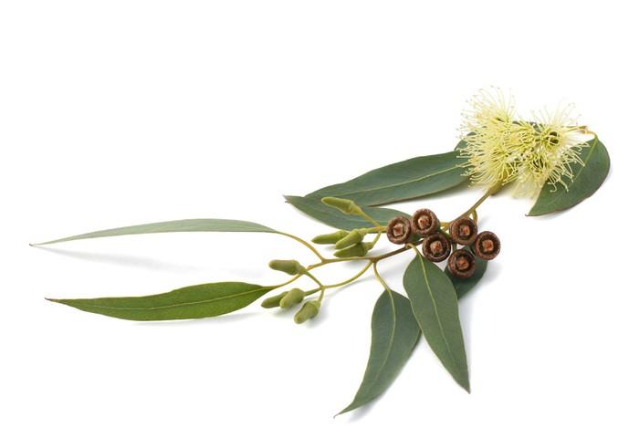 Vinylová Tapeta Eukalyptus větev - Zdraví a medicína