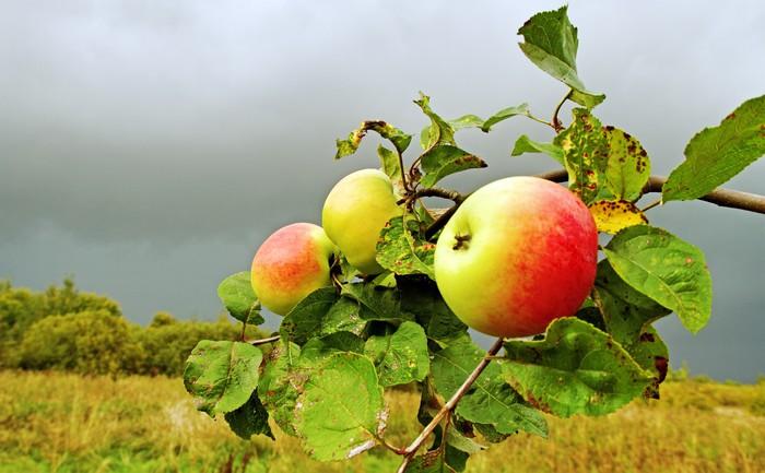 Apple garden. Wall Mural • Pixers® • We live to change