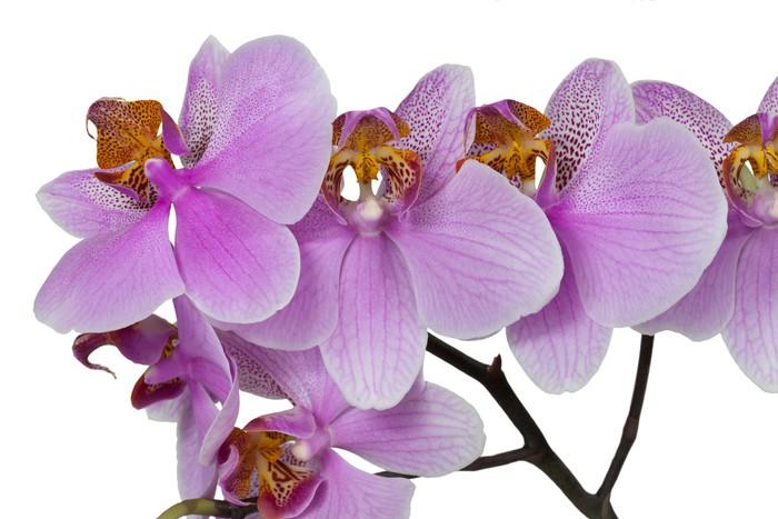 Vinylová Tapeta Цветок орхидеи розовой - Květiny