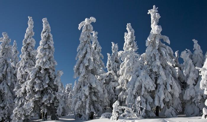 Vinylová Tapeta Zimní stromy - Evropa