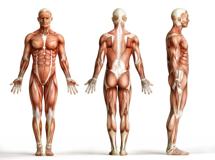 anatomy, muscles Wall Mural • Pixers® • We live to change