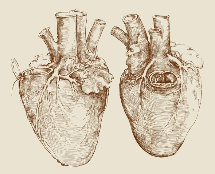 Fototapete Herz. Basierend auf Zeichnung von Leonardo da Vinci ...