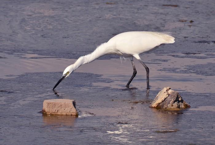 Nálepka Pixerstick Bílá volavka krmení v močále při západu slunce - Ptáci