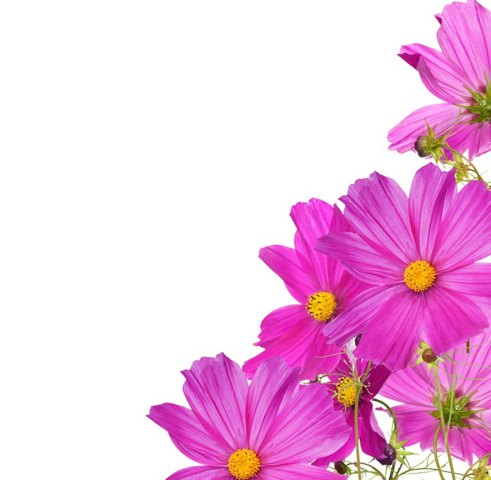 Large Pink Flowers Corner Isolated On White Poster Pixers We