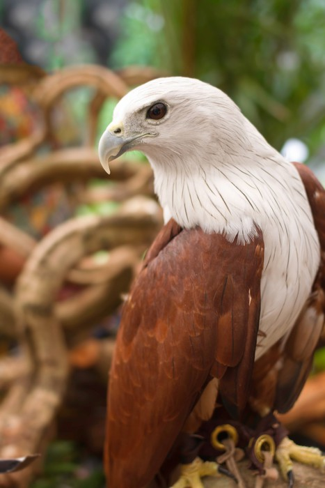 Vinyl Behang Brahminy Kite, Red-backed Sea Eagle staan ​​op de tak - Thema's