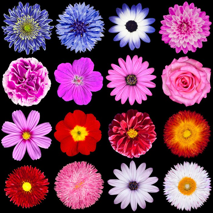 Red pink purple blue and white flowers isolated on black wall red pink purple blue and white flowers isolated on black vinyl wall mural mightylinksfo