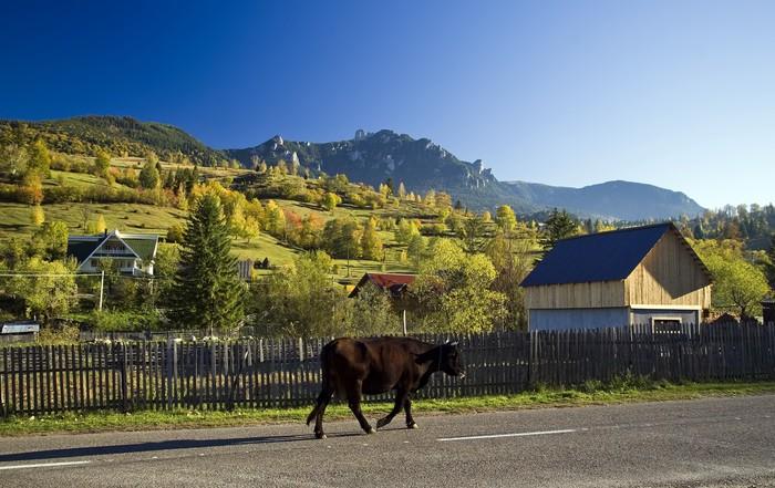 Vinylová Tapeta Venkovské krajiny s krávou na ropuchu v Rumunsku - Město