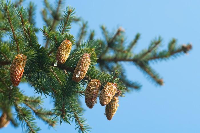 Vinylová Tapeta Fur-tree větev s kužely - Mezinárodní svátky