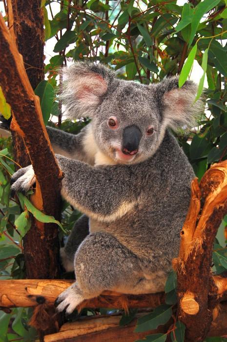 Vinylová Tapeta Koala na stromě - Témata