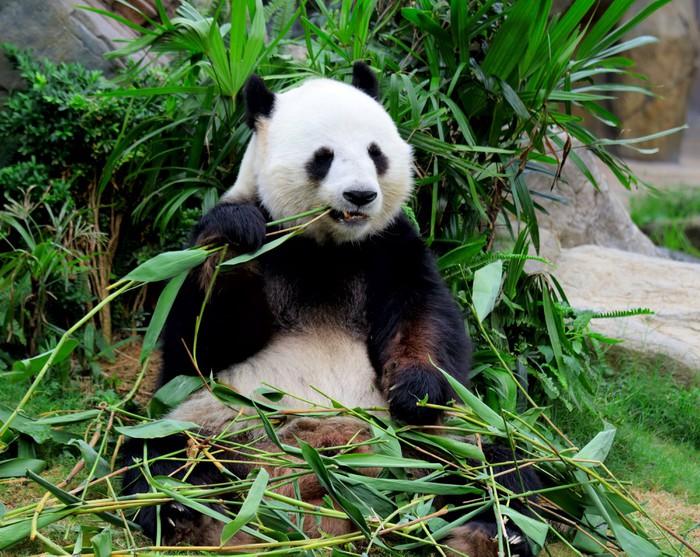 Giant Panda Eating Bamboo Wall Mural Pixers 174 We Live