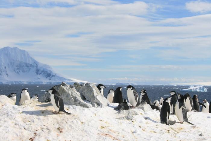 Vinylová Tapeta Chinstrap tučňáci v Antarktidě - Ptáci