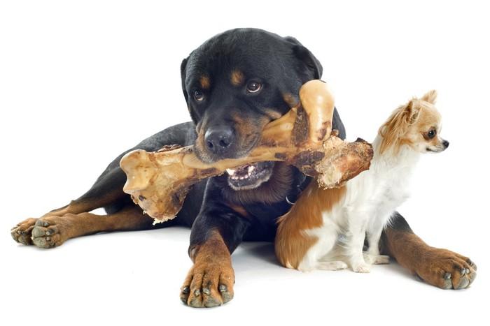 Vinylová Tapeta Rottweiler, čivava a kostí - Savci