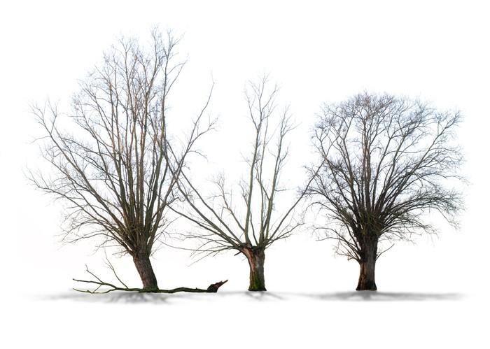 Papier peint arbre sans feuilles sur fond blanc pixers - Arbres sans feuilles ...