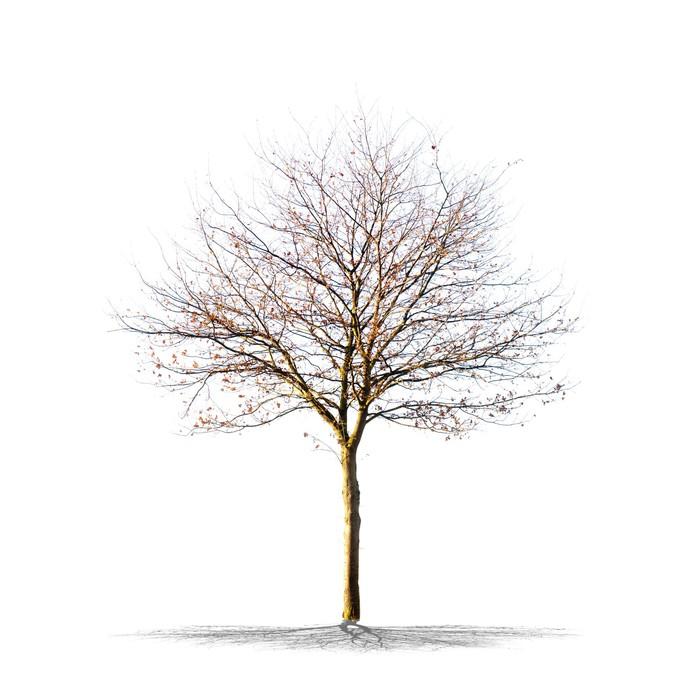 arbre sans feuilles sur fond blanc vinyl wall mural seasons - Arbre Sans Feuille
