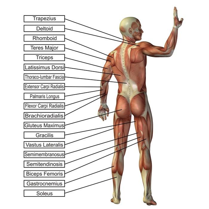 Fototapete Hohe Auflösung konzeptionelle 3D menschlichen Anatomie ...