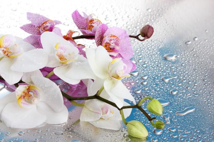 fototapete rosa und wei e orchideen mit tropfen auf blauem. Black Bedroom Furniture Sets. Home Design Ideas