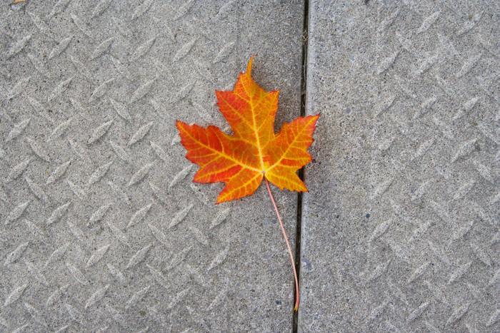 Vinylová Tapeta Osamělý červený javorový list na podzim 2 - Amerika