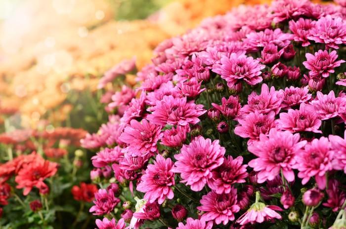 Vinylová Tapeta Oranžové a červené chryzantémy květiny na pozadí - Rostliny