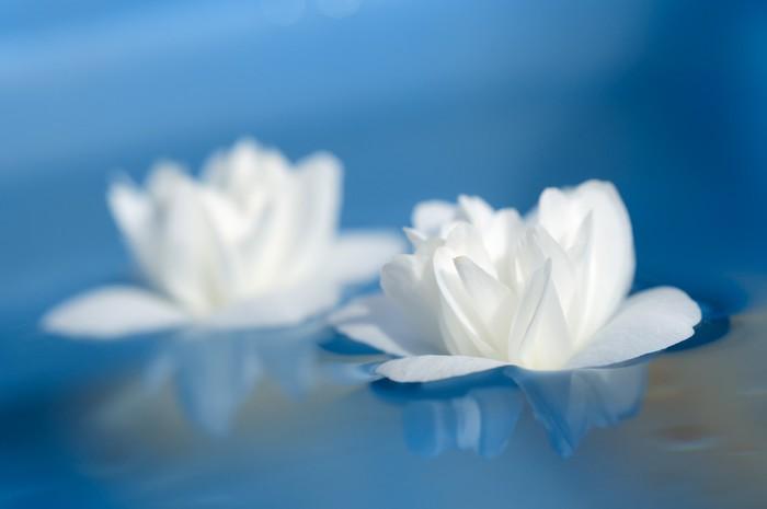 Vinylová Tapeta Krásné bílé květy jasmínu Plovoucí na Blue Water - Květiny