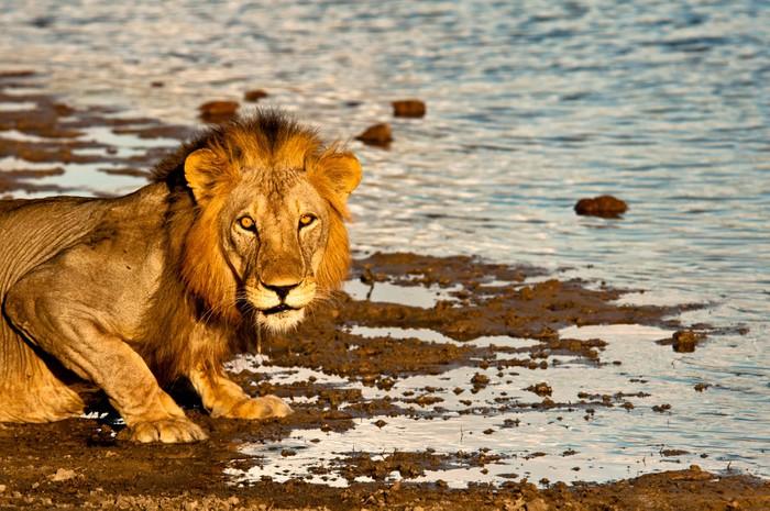 Vinylová fototapeta Muž lev v Selous Game Reserve - Vinylová fototapeta