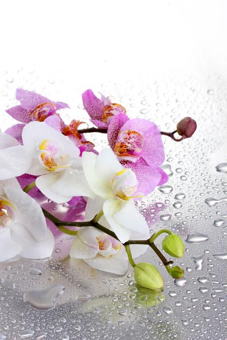 Vinylová Tapeta Růžové a bílé krásné orchideje s kapkami - Témata
