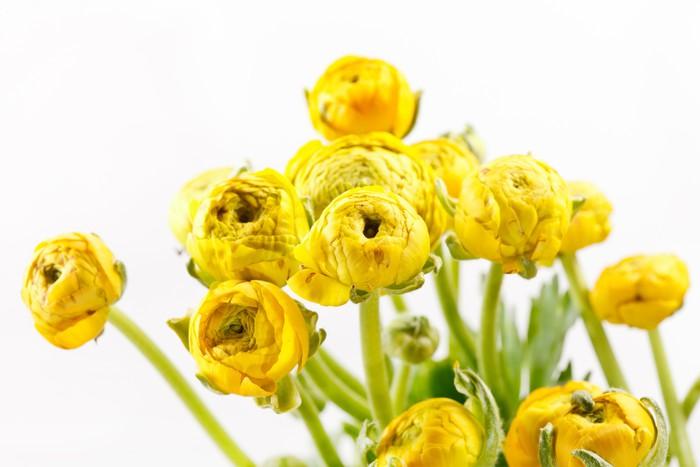 Vinylová Tapeta Žlutá Ranunculus - Květiny