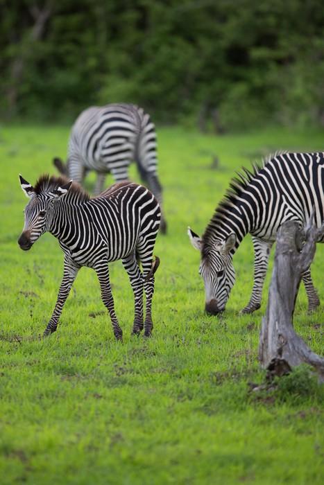 Vinylová fototapeta Zebra stádo s teletem - Vinylová fototapeta