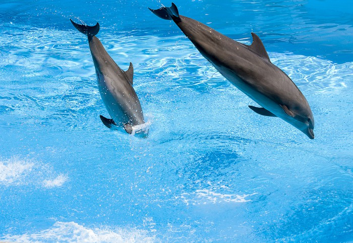 Vinylová Tapeta Delfini saltano nell'acqua - Témata