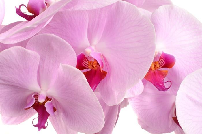 Vinylová Tapeta Pink orchid flower close-up izolovaných na bílém - Rostliny