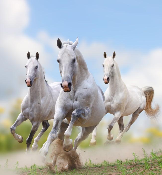 fototapeta bia�e konie w kurzu � pixers174 � Żyjemy by zmienia�