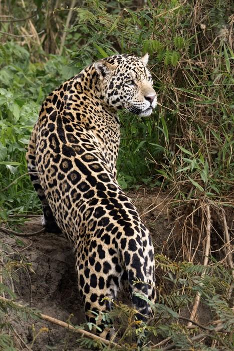 Vinylová Tapeta Jaguar stávky pózu - Amerika