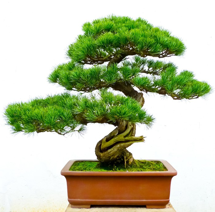 fototapete bonsai kiefer pixers wir leben um zu. Black Bedroom Furniture Sets. Home Design Ideas