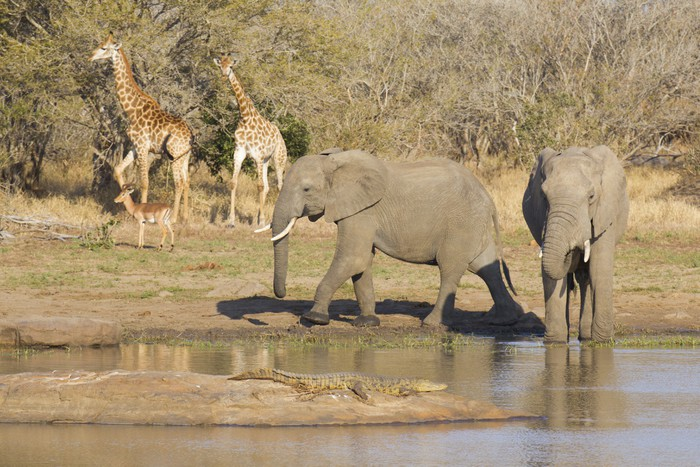 African wildlife at a waterhole Wall Mural Pixers We live to change